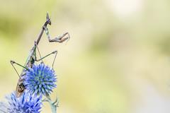 La rencontre ... (jeremie.brion) Tags: empuse macro proxy nature insecte