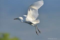 Airone guardabuoi (Bubulcus ibis) (Massimo Greco *) Tags: bubulcus ibis