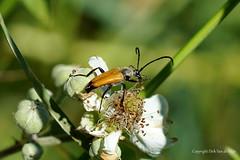 Beetle (DirkVandeVelde back in October) Tags: europa europ europe fauna frankrijk france flora flower fleur côtedopale buiten bercksurmer biologie nordpasdecalais insekt insects insect insekten kever beetle sony macro