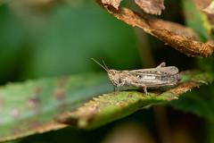 Field Grasshopper (Gareth Keevil) Tags: autumn closeup detail fieldgrasshopper gardenwildlife garethkeevil grasshopper macro minibeast nikon nikon105mm nikond810 sunshine telephoto uk warminster wild wiltshire