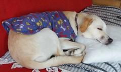Parece que Lucy está muy cómoda...!! (MariaTere-7) Tags: perro mascota lucy sanmiguel lima perú maríatere7