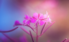 Willowherb Fireweed (Dhina A) Tags: sony a7rii ilce7rm2 a7r2 a7r russian monocular 8x30 ussr monocle bokeh
