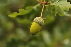 Acorn (Gavin E Young) Tags: acorn