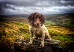 Razz at Piethorne Valley (Missy Jussy) Tags: razzle razz razzledazzle roxbergrazzle dog dogwalk dogportrait pet englishspringer spaniel springerspaniel portrait animal animalportrait petportrait piethornevalley valley sky clouds rain september2018 stone drystonewalls fields farmland fantastic50mm 50mm 50 ef50mmf18ll ef50mm canon50mm fantastic50 5d canon5dmarkll canon5d canoneos5dmarkii outdoor outside wetdog puppy rochdale northwest pennines razzat6months littledoglaughedstories