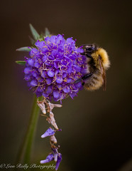 Busy Bee (broadswordcallingdannyboy) Tags: highlands scotland cairngorms 70200mm ef70200mmf4lisusm leonreillyphotography copyright donotcopy mood eos7d 2018 zoomlens scottishscene scottishhighlands leonreilly bee bumblebee buzz busybee