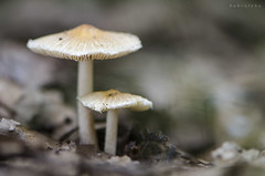 2018_09_15 (kbl phtogaphy) Tags: bolets bosque setas bosc macro macro105 macrofotografia fungi hongos fongs micologia airelibre naturaleza natura naturalesa nature nikon nikon5100 nikor105 macrophotography