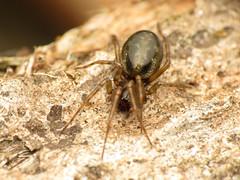 Shiny Spider (treegrow) Tags: newzealand moana lakebrunner nature lifeonearth raynoxdcr250 arthropoda arachnida araneae spider