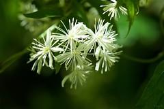 ボタンヅル Clematis apiifolia (takapata) Tags: sony sel90m28g ilce7m2 macro nature flower