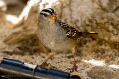 White-crowned Sparrow (Stephen R. D. Thompson) Tags: lincoln california locations lincolnhome orderpasseriformessongbirds thebirdsaves nature stcphotography genuszonotrichiawhitecrowned familyemberizidaesaprrowfinchandrelatives stephen r d thompson na whitecrownedsparrowspecieszonotrichialeucophryspasseriformesemberizidaezonotrichiazonotrichialeucophrys 2018 usa stephenrdthompson whitecrownedsparrowspecieszonotrichialeucophryspasserif