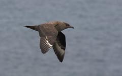 Grote jager -  Great Skua - Stercorarius skua (marcdeceuninck) Tags: nature natuurfotgrafie schotland vogels birds grotejager greatskua stercorariusskua grandlabbe