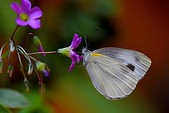 Monday macro (Explore #97) (kiki nagi) Tags: butterfly insect nature macro mondaymacro nikond750