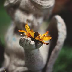 35 / 52 : 1 (Randomographer) Tags: 52weeks 50mm prime bokeh flower yellow daisy stone concrete sculpture yard angel wing looking appreciate 35 52 2018