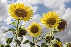 Die drei Sonnenblumen (KL57Foto) Tags: 2018 august blumen blüten düsseldorf düsseldorfurdenbach germany kl57foto landschaft nrw natur nordrheinwestfalen olympus penemp2 pflanzen sonnenblumen urdenbach urdenbacherkämpebaumbergeraue sunflower