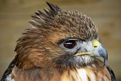 Red-Tail Buzzard (mickb6265) Tags: wilsteadbirdofpreycentre herringsgreenfarm wilstead bedfordshire redtailbuzzard