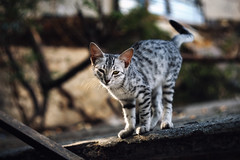 Street cat 208 (Igor A.T.) Tags: cat cats кот кошка котка kedi chat feline kat katze katzen kot kotka pet felino kottur katte kass kitty gato kocka gatta katzchen котёнок кошеня кiт streetcat kitten kätzchen canon 6d 100mm helios44m