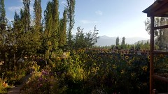 The kitchen garden at Warila Guesthouse, where I am staying in Leh