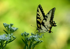 Swallowtail (ozoni11) Tags: swallowtail swallowtails butterfly butterflies insect insects columbiamaryland howardcountymaryland ozoni11 oberman michaeloberman maryland nikon nikond500 afs80400mm nature