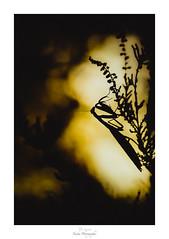 Chuuuut, c'est un secret (Naska Photographie) Tags: naska macro macrophotographie macrophoto minimaliste minimalisme monochrome mante religieuse mantidae mantis mantodea photographie photo photographe paysage proxy proxyphoto proxi proxiphoto silhouette ombre chinoise contre jour soleil sun jaune yellow microcosmos microfaune extérieur nature sauvage vegetation