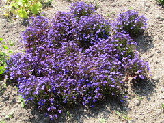 purple tiny flowers (VERUSHKA4) Tags: canon russia europe solovetskyarchipelago island botanicgarden arkhangelskyregion travel historic nord northerneurope blossom purple flora fleur flower plant summer summertime july nature land garden butterfly