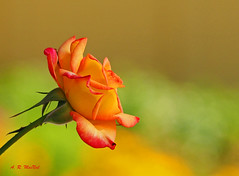A Summer Rose - Steveston, British Columbia (Barra1man) Tags: asummerrose rose summer colourful garden pretty summercolours plant steveston britishcolumbia canada olympus olympusem1 iso800 lens300mm f5612000