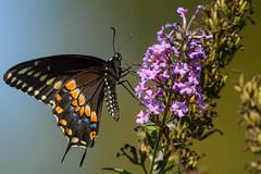 Black Swallowtail (JDA-Wildlife) Tags: butterfliesetc nikon nikond7100 tamronsp150600mmf563divc jdawildlife johnny closeup butterfly butterflyswallowtailblack blackswallowtail wow gorgeous