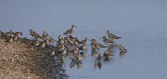 Dunlins in a lagoon (yvonnepay615) Tags: panasonic lumix gh4 nature birds dunlins rspb snettisham norfolk eastanglia uk platinumheartaward