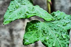 P1040964 (mireiatarres) Tags: macro leaf rain hojas verde lluvia