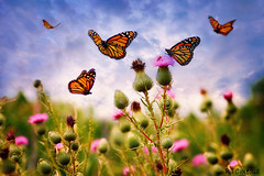 Butterfly Sky (rtcmedia2010) Tags: butterfly monarch sky flowers nature summer montage fujii tokina