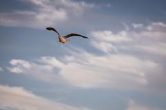 Seagull (camerue) Tags: wildlife outdoor flug möwe seagull bird bif borkum borkum2018 nordsee