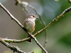 Spotted Fly Catcher (Muscicapa striata) (1 of 2) - Taken at Sywell Country Park, Sywell. Northamptonshire, UK. (Ian J Hicks) Tags:
