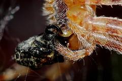 Weevil for lunch 080718 IMG_0125 (clavius2) Tags: european garden spider feeding orbweaver eating weevil araneus diadematus cross orbweavers hairy tan coloured spiders web silk north east england uk orb weaver arachnid