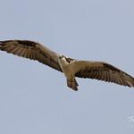 Male Osprey flyby thumbnail