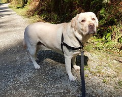 Gracie in sun and shade (walneylad) Tags: gracie dog canine pet puppy lab labrador labradorretriever cute august summer afternoon capilanoriverregionalpark