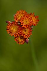 Orange Hawkweed (pstenzel71) Tags: blumen natur pflanzen darktable flower bokeh habichtskraut orange pilosellaaurantiaca hawkweed hieraciumaurantiacum