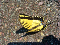 Papilio rutulus, Glacier National Park, Montana, USA (Pablo F. J.) Tags: swallowtail swallowtailbutterfly papilionidae mariposa lepidoptera lepidóptero fauna animal insecto nationalpark glaciernationalpark parquenacional espacionaturalprotegido naturalprotectedarea