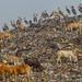 Greater Adjutants at Guwahati Rubbish Dump