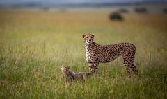 Imani and her cub (ラルフ - Ralf RKLFoto) Tags: kenia kenya masaimara narok natur safari tiere animals wildlife cub cheetah gepard