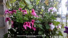 Pelargoniums (Deep pink) & 'Bicolor' on balcony railings 9th September 2018 (D@viD_2.011) Tags: pelargoniums deep pink bicolor balcony railings 9th september 2018