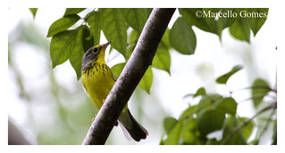 Canada Warbler (Cardellina canadensis) CAWA - Rare Fall Migrant through most of Florida (best seen as it is - ID shot)