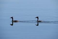 IMG_0110 (john blopus) Tags: birds πουλιά λίμνη lake