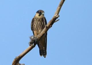 Hobby --- Falco subbuteo