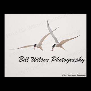 common terns flight w fish