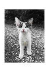 Alaska... (Fiorenzo Delegà) Tags: stray cat puppy straycatpuppy cucciolo gatto cucciolodigattorandagio bw