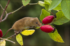 Harvest Mouse (Craig 2112) Tags: harvest mouse minutus micromys rodent macro mammal rosehip