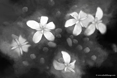 Little Stars (bnilesh) Tags: flowers closeup horizontal light little macro magenta nature pattern shapes small star yellow