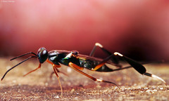 20180917 - 04  This Singapore wasp, body circa 9mm, with interesting feet ... any ideas?  Metapelma sp. (ID by el.gritche) (Henry Aldridge) Tags: arthropods singapore henryaldridge insects hymenoptera vesperidae wasps chalcidoidea chalcidwasps eupelmidae metapelmasp