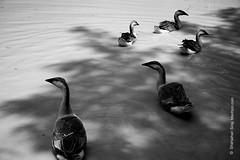 Duck/ হাঁস (shahjahansiraj.com) Tags: duck haiku japan poetry artphotography