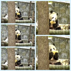 2018_08-16zk1 (gkoo19681) Tags: beibei chubbycubby fuzzywuzzy adorableears brighteyed treattime yummyfruitcicle holdingon sohappy biting licking delicious toocute beingadorable sunkissed precious amazing messy ccncby nationalzoo