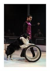"""Le Cirque Français"" (The Blue Water Lily's Company) Tags: fdrouet cirque circus chien maître nikon d90 dog"
