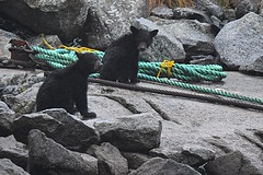 Black Bear Cubs (Ursus americanus) (JRWhitaker1) Tags: wildlife nature mammal alaska bearcub blackbear bear